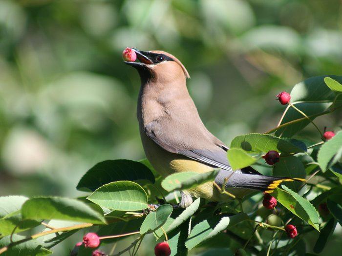 Birds Of Canada - Cedar Waxwing