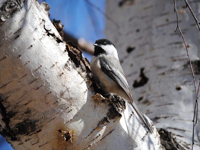 Birds Of Canada - Chickadee