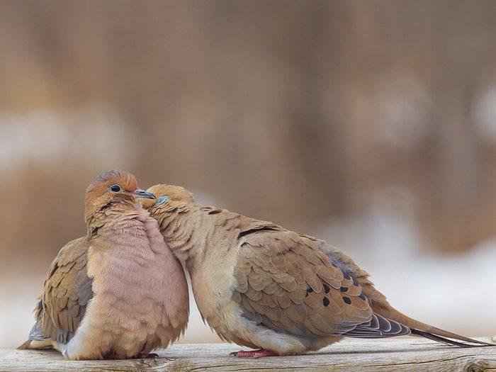 Birds Of Canada - Doves