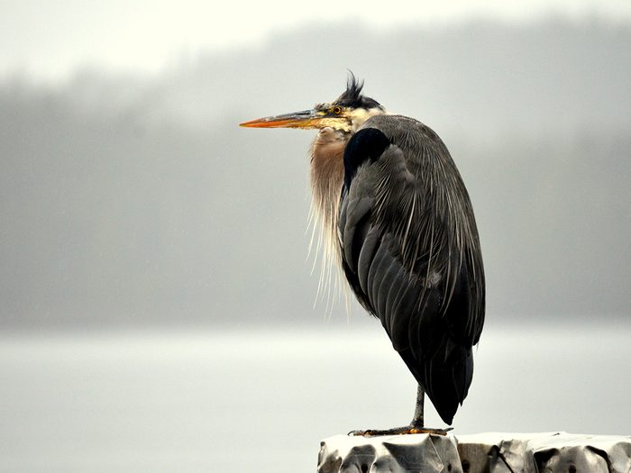 Birds Of Canada - Heron - Prince Rupert