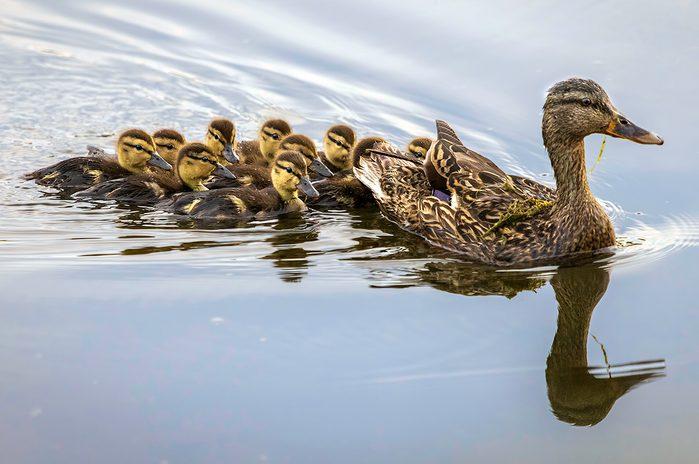 Birds Of Canada - Mallard Family - ducks - ducklings