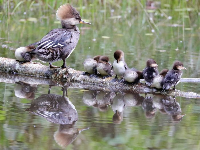 Birds Of Canada - Merganser