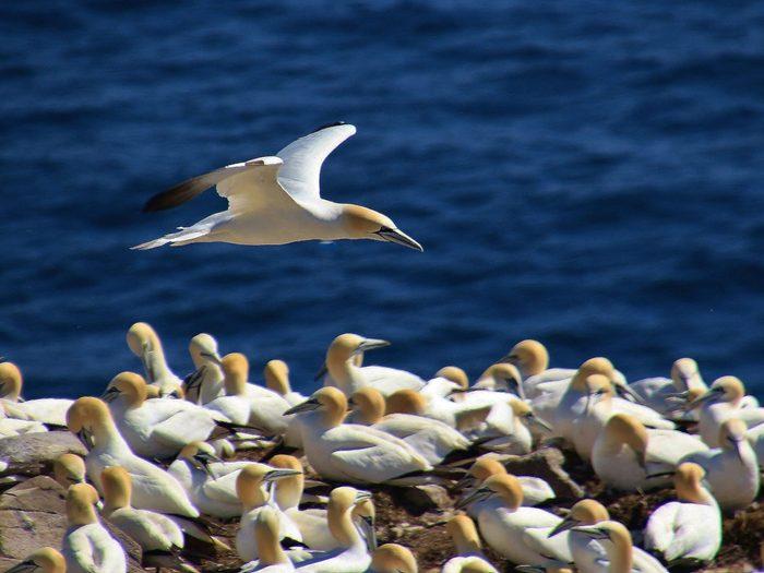 Birds of Canada - Northern Gannet