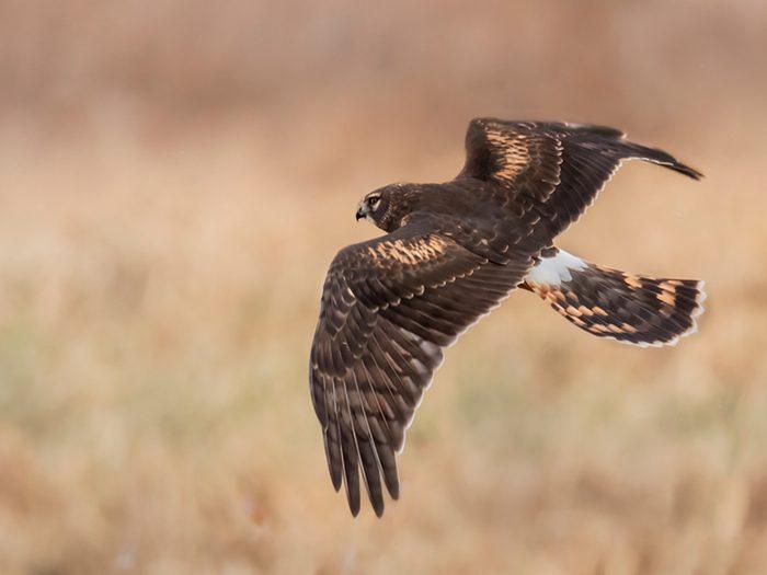 Birds Of Canada - Northern Harrier Hawk