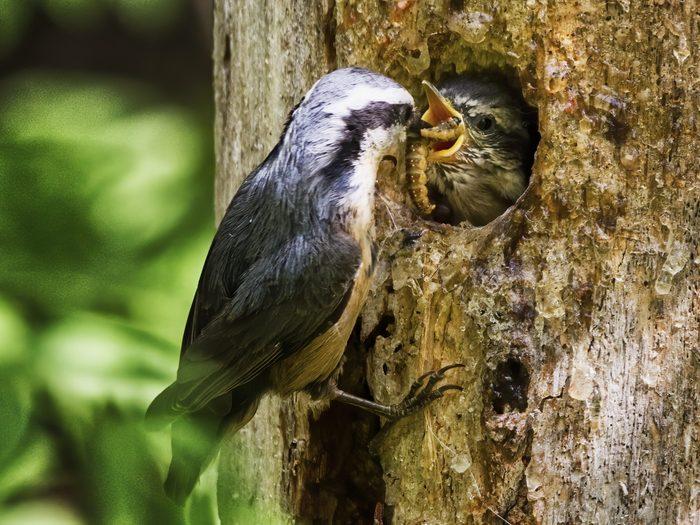 Birds Of Canada - Nuthatch