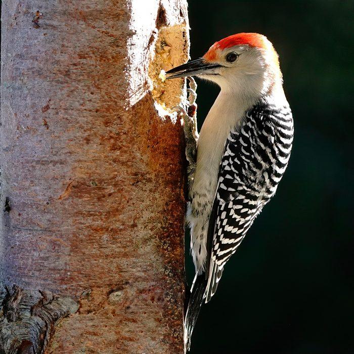 Birds Of Canada - Red-Bellied Woodpecker