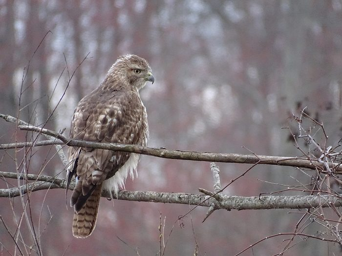 Birds Of Canada - Red-Tailed Hawk