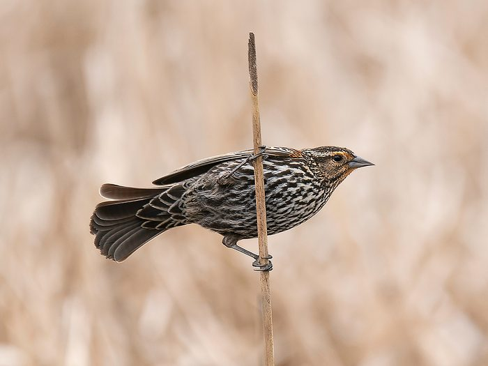 Birds Of Canada - Red-Winged Blackbird