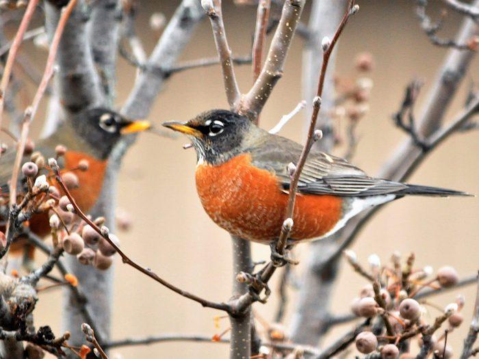 Birds Of Canada - Robins - Ornamental Pear Tree
