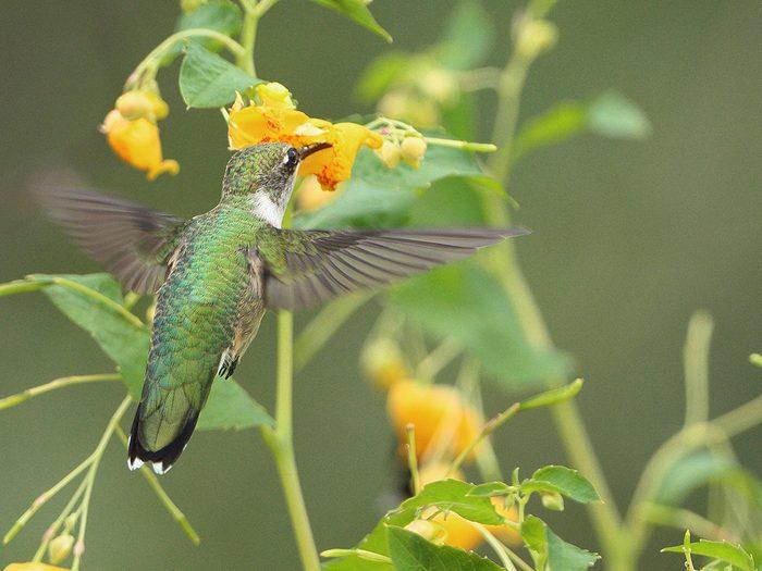 Birds Of Canada - Ruby-Throated Hummingbird