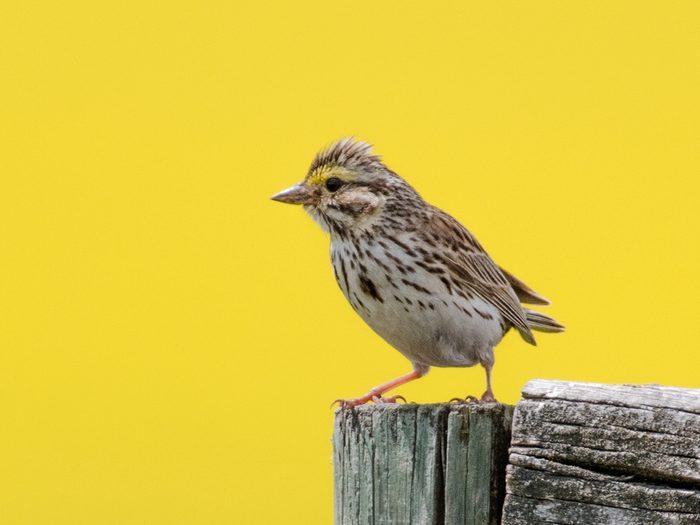 Birds Of Canada - Savannah Sparrow