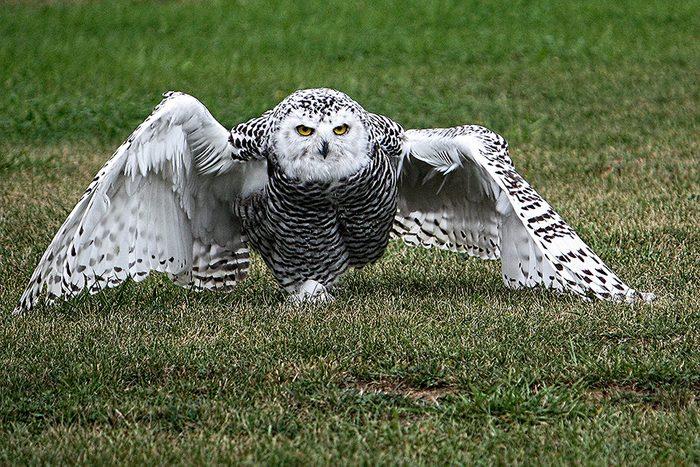 Birds Of Canada - Snowy Owl