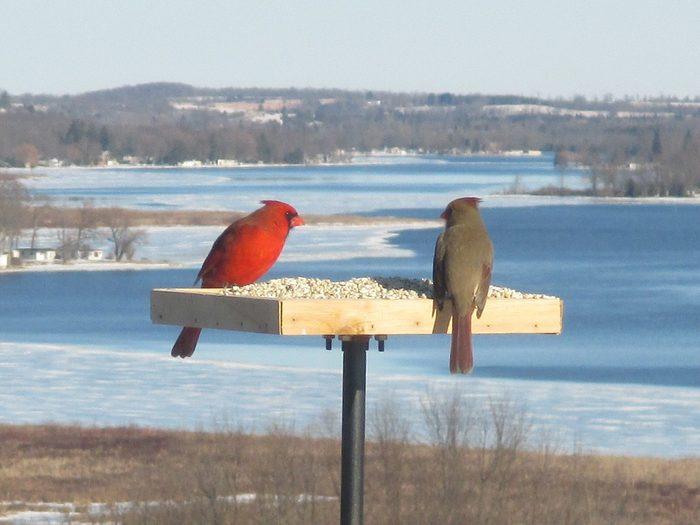 Birds Of Canada - Cardinal