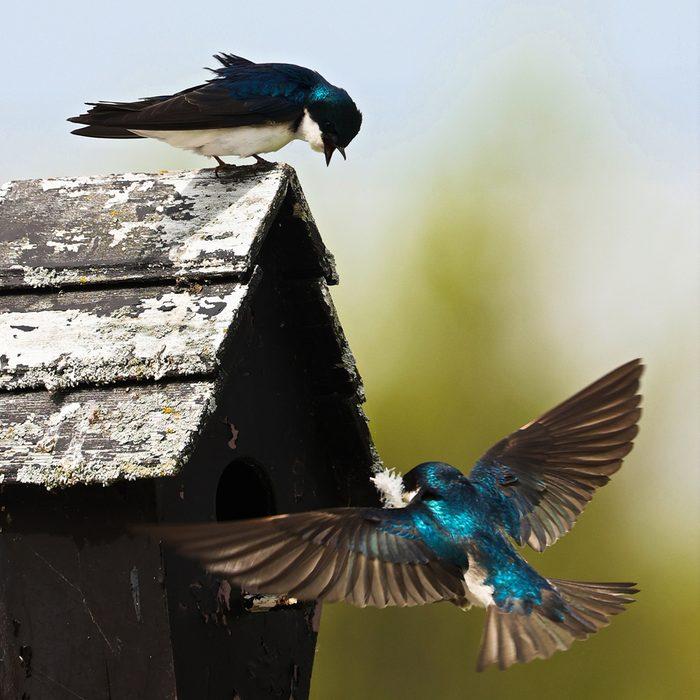Birds Of Canada - Tree Swallows