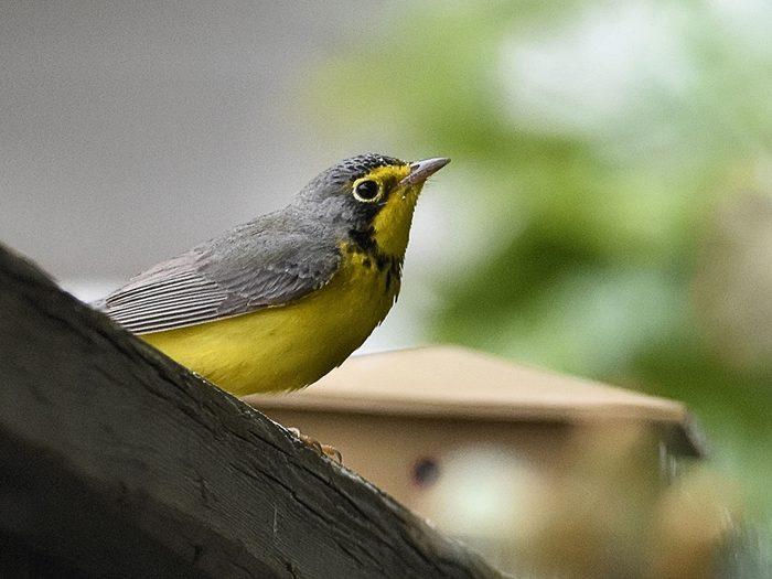 Birds Of Canada - Warbler