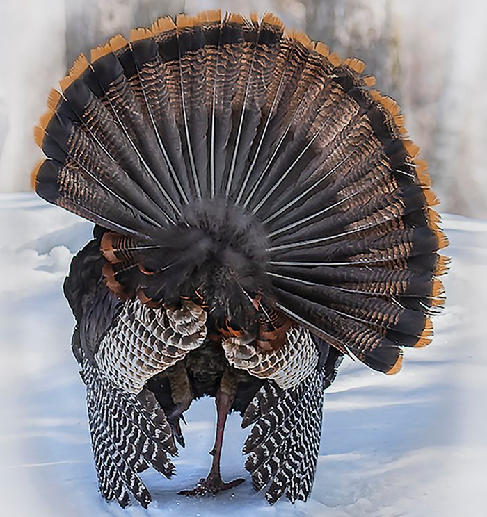 Birds Of Canada - Wild Turkey