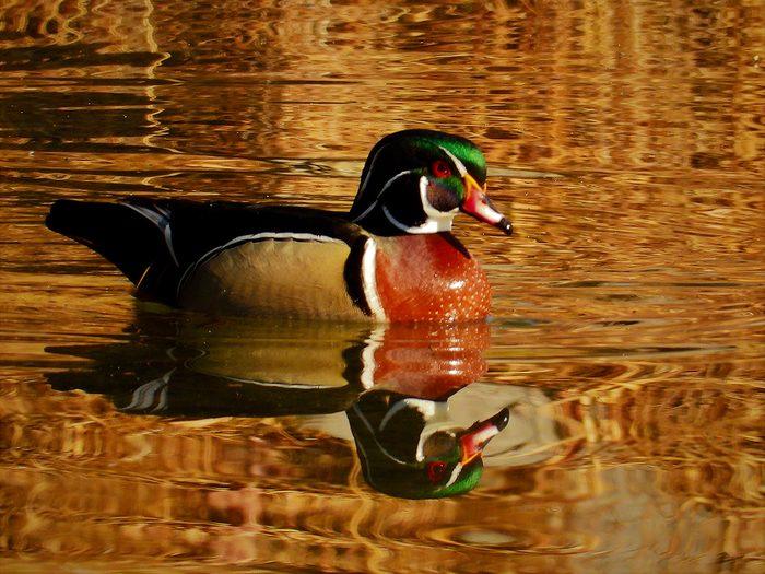 Birds Of Canada - Wood Duck
