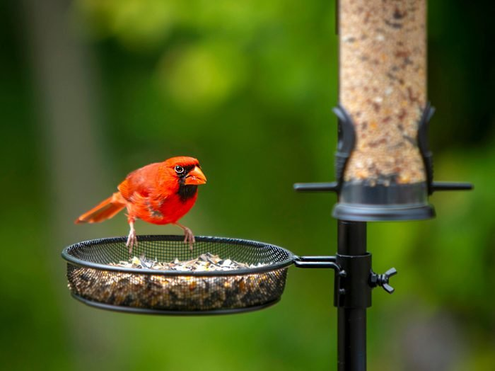 What not to feed birds - Cardinal at birdfeeder