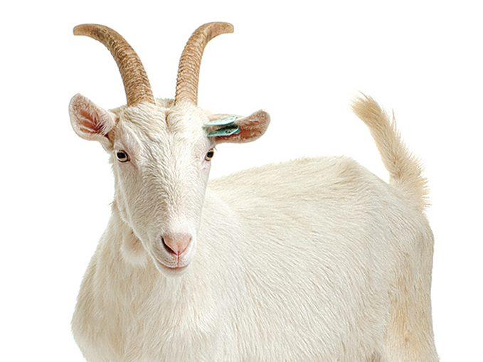 Hidden Gems in BC - Goat