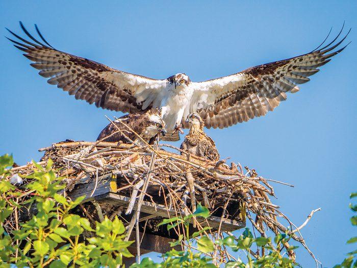 Okanagan birds - Osprey protecting its young