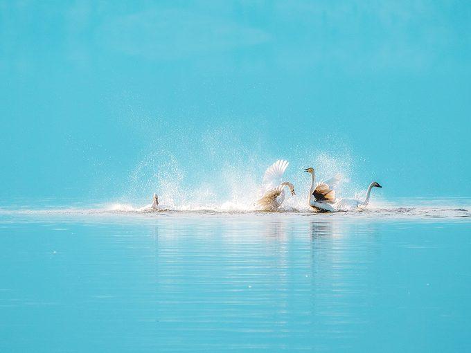 Okanagan birds - Trumpeter swans