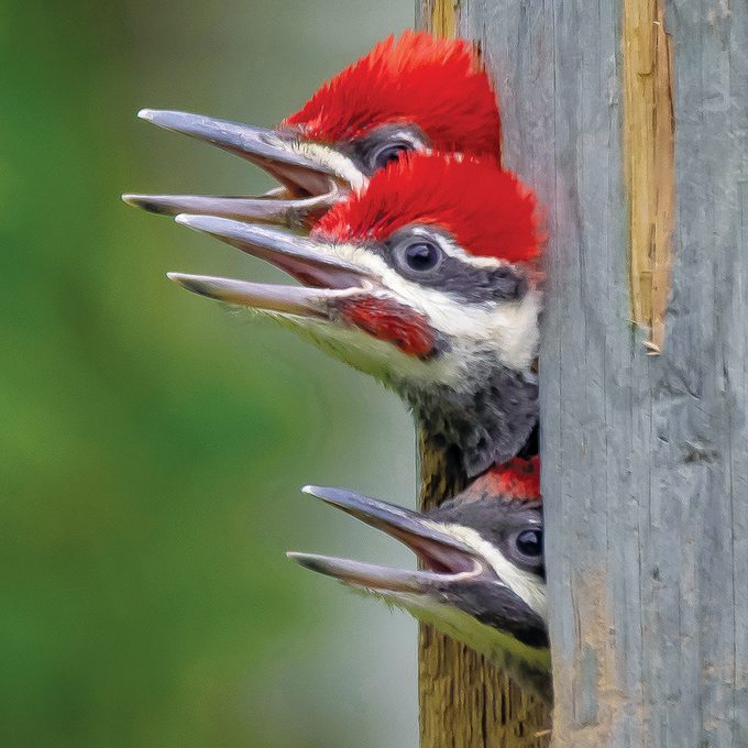 Pileated Woodpecker Facts - Three pileated woodpecker chicks