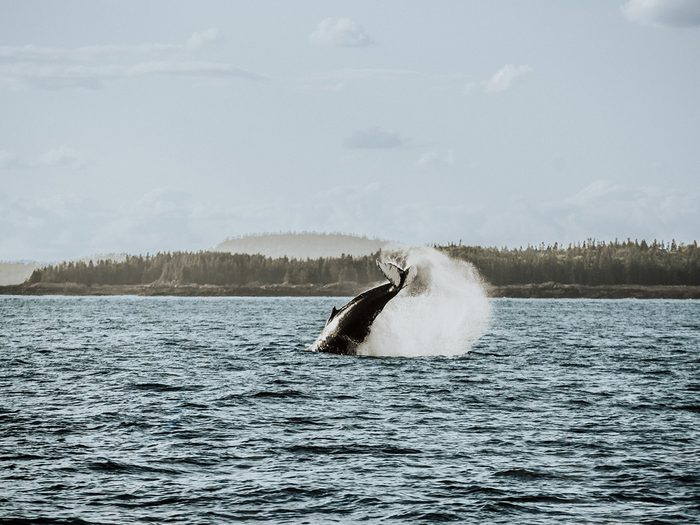 A whale in the New Brunswick waters