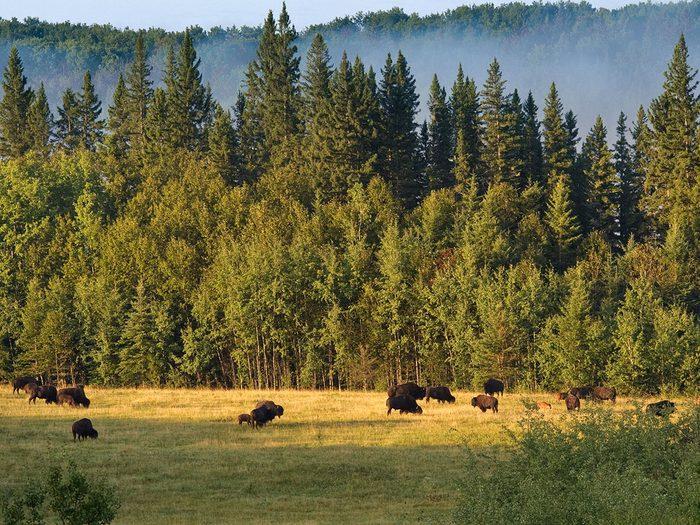 Long view of Plains Bison, Stoney Plain Meadows. Prince Albert National Park