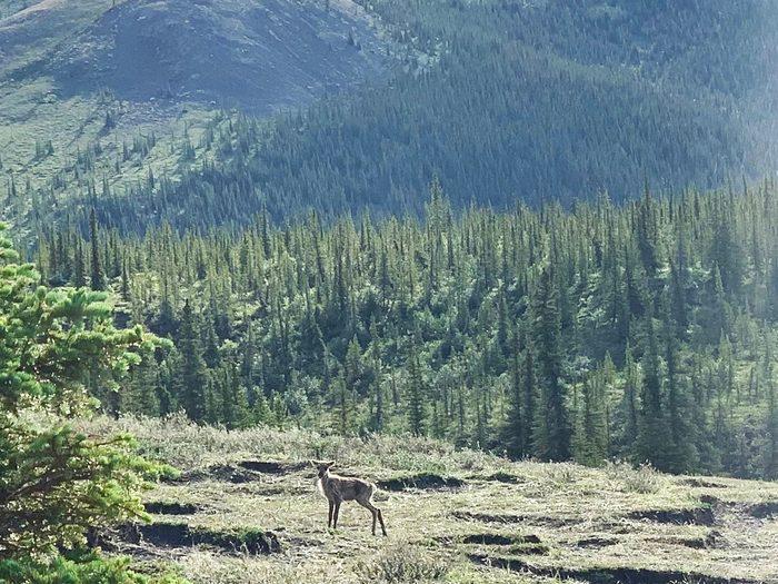 Caribou In Ivvavik National Park