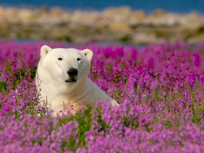 A polar bear in Manitoba